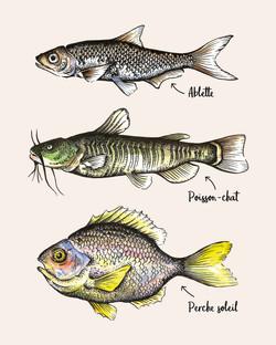 Illustration scientifique - Poissons
