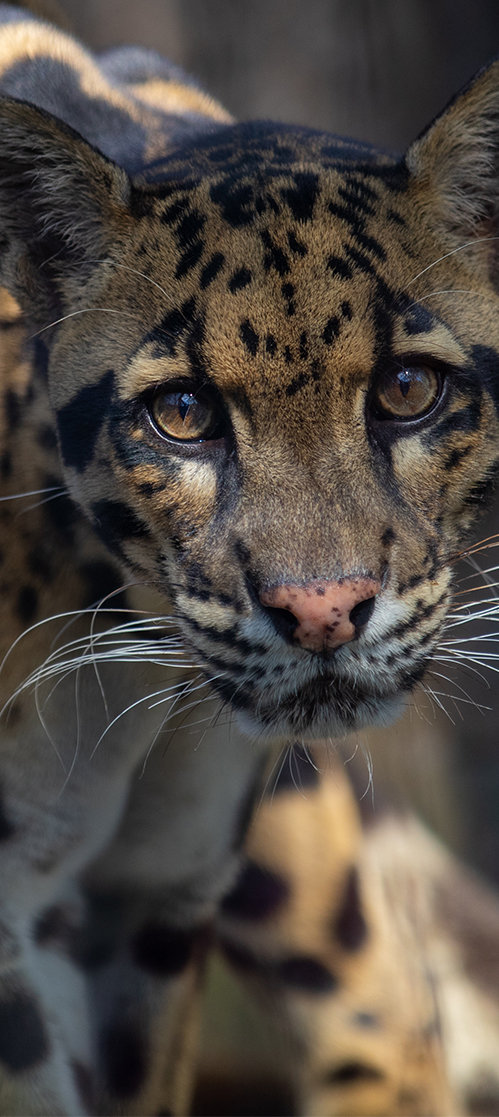 Leopard photo editorial zoo wildlife photo photographer closeup headshot portrait