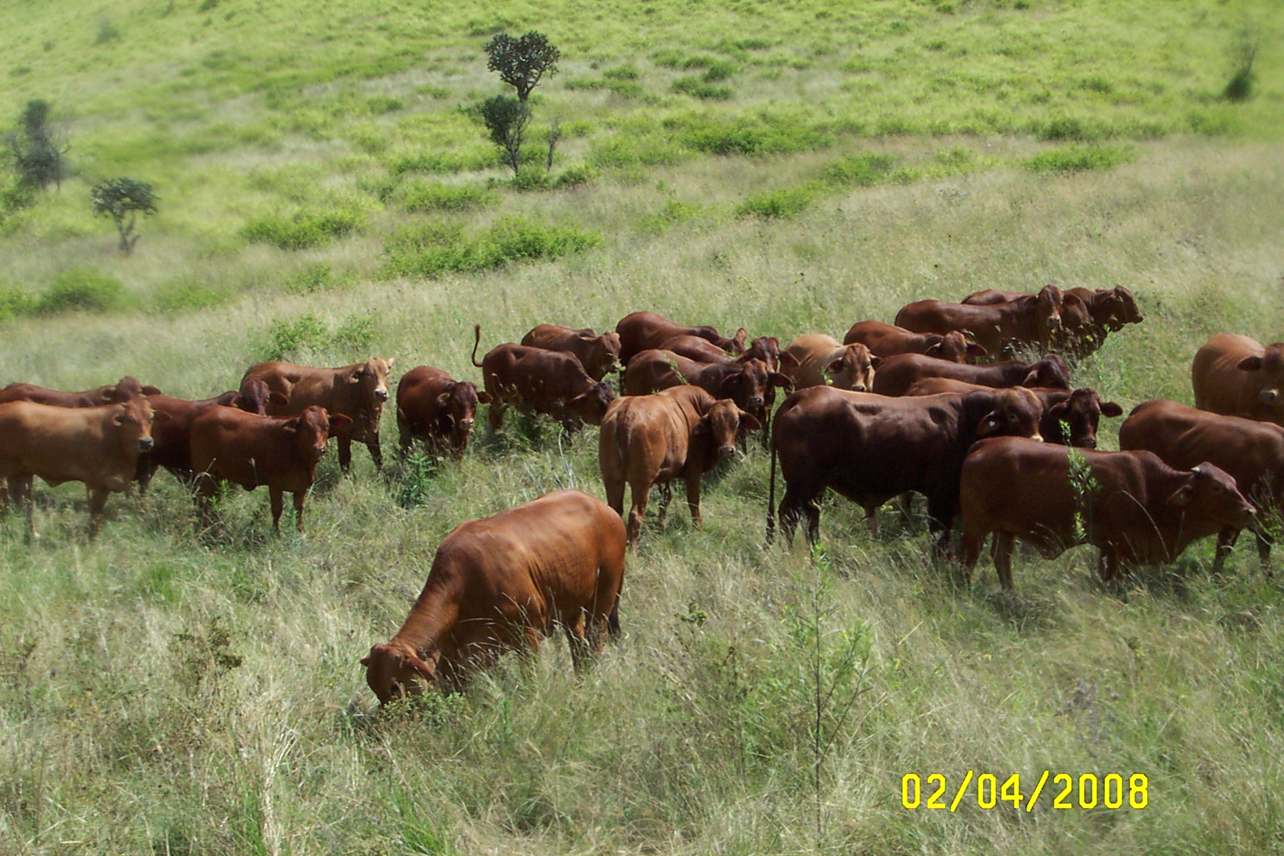 Yearling Heifers _ Bundocks (k)