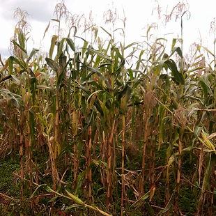Maize 2 harvest sept 2020.jpg