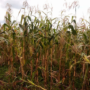Maize 2 harvest sept 2020.jpg