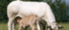 Piedmontese cow and calf.jpg