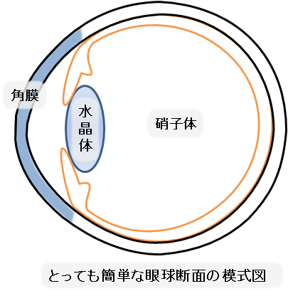とっても簡単な眼球断面の模式図