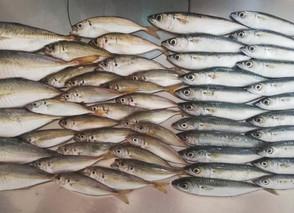 新鮮な魚のために