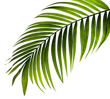 green leaf of palm tree on white backgro