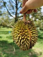 Thai Mornthong Durian