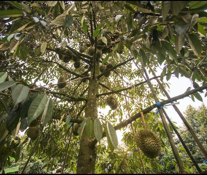 durian001.jpg