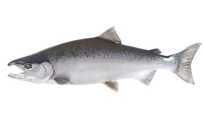 Bright silver Coho salmon isolated on wh