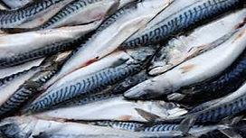 mackerel bait.jpg