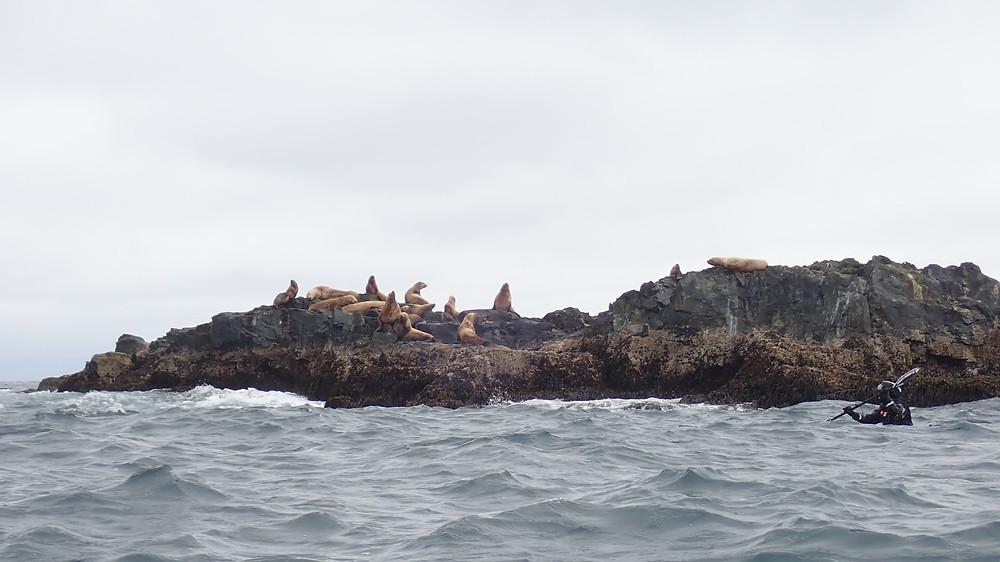 sea lions freya