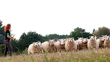 Samarbejde med fårehyrdning Lena Munk Consult