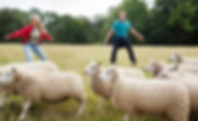 Teambuilding sheepherding Lena Munk Consult