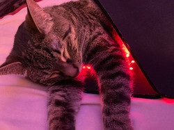 A cat is wrapped in a light system for pain relief
