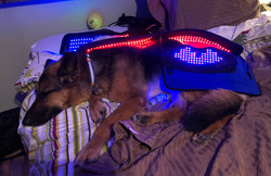 A dog wrapped in a light system for pain relief