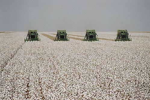 Casquinha do caroço de algodão