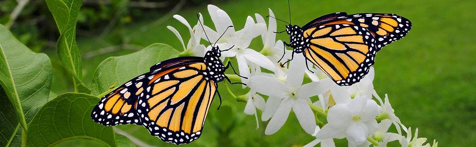Butterfly strip.jpg