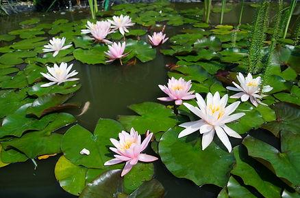 Lotus flower 02 own.jpg
