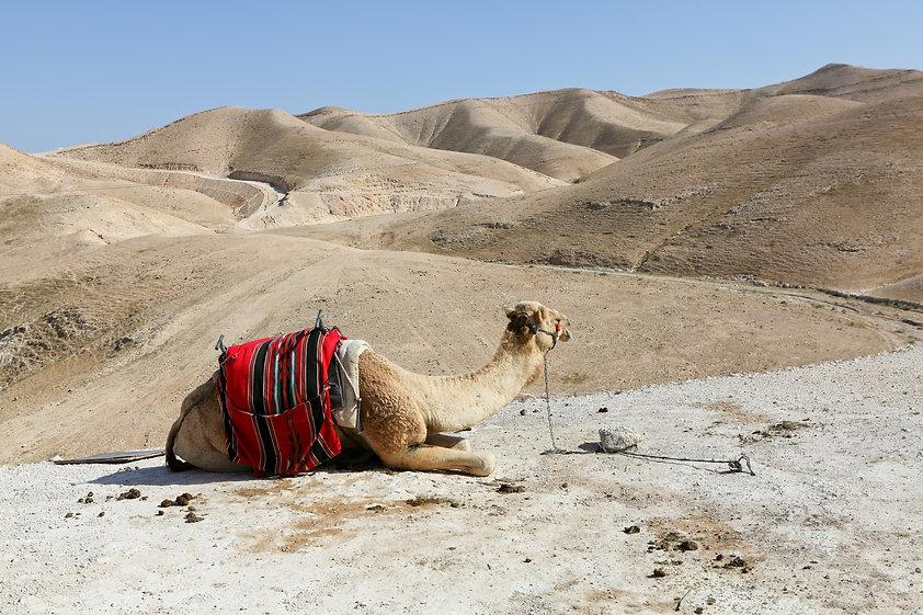 Israel - Wadi Qilt - Camel - 1 - Thinkst