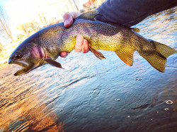 Hungry Gunnison Cutbow trout