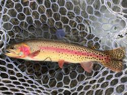 High Alpine Lake Cutthroat Trout