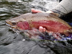 Taylor River Cutbow Trout