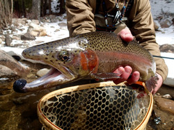Kiped-out Taylor River Rainbow