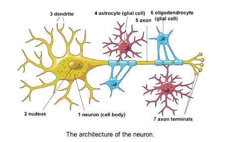 neurondiagram jpg