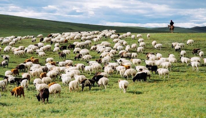 mongolian sheep 1.jpg