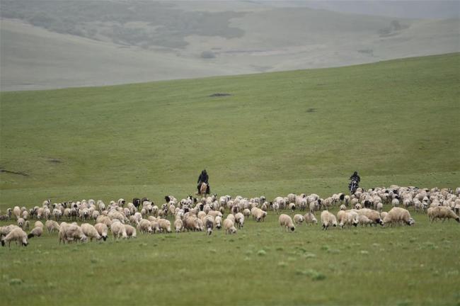 Mongolian sheep 6.jpg