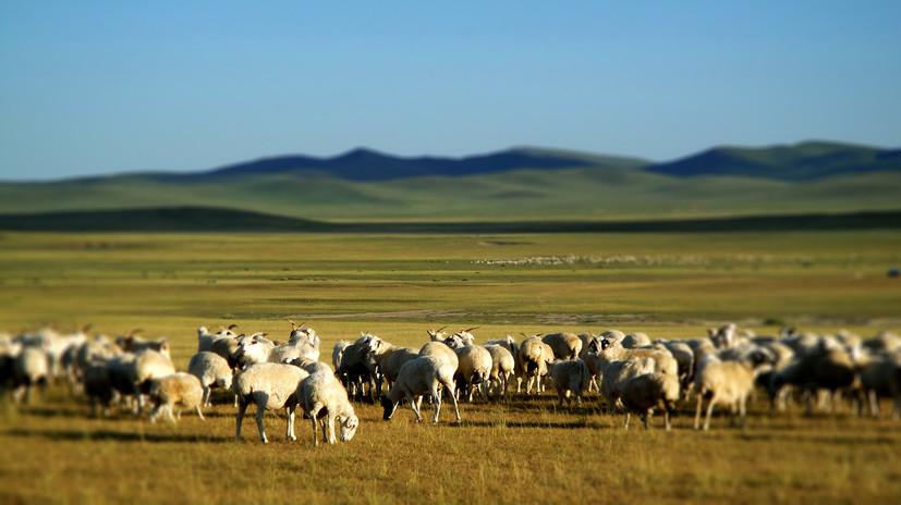 Mongolian sheep.jpg