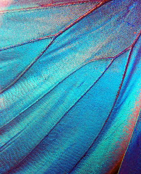 Detail of morpho butterfly wing.jpg