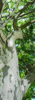 Caesalpinia ferrea (var. leiostachya)