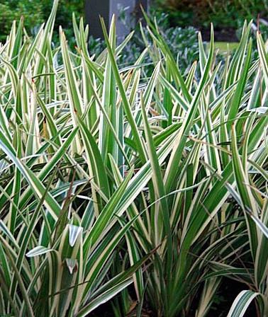 dianela-dianella-ensifolia-1-1.jpg