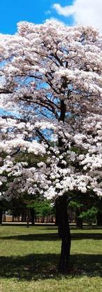 Tabebuia roseo-alba