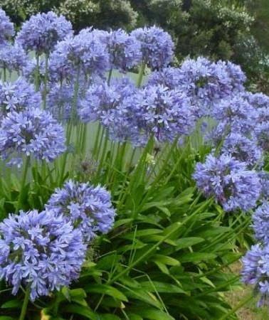 sementes-agapanto-agapanthus-praecox-flo