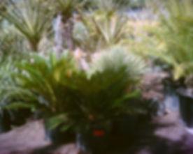 Cycas_revoluta_Sago_Palm.jpg