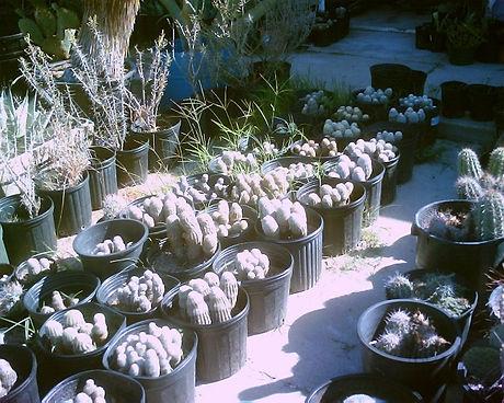 Lace_Cactus.jpg