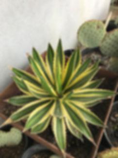 Vareigated-lophantha-e1519331713439.jpg