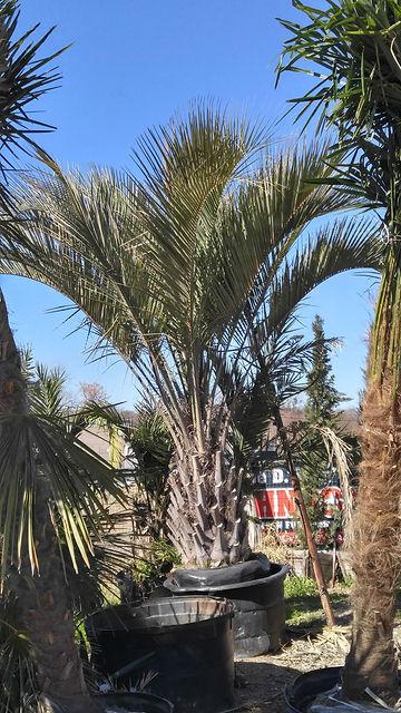 Pindo-Palm-e1519307962657.jpg