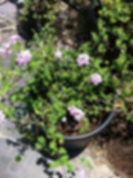 Lavender-lantana.jpg