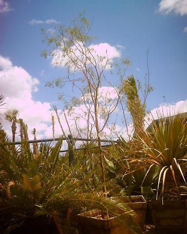 Mesquite_thornless.jpg