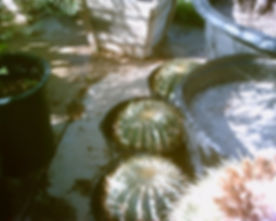 Ferocactus_glaucescens.jpg