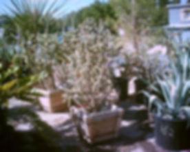 Opuntia_tunicata_cholla.jpg