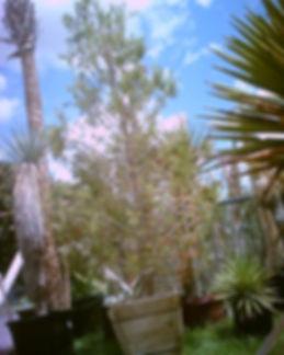 Elderica_pine.jpg
