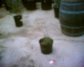 Candel_plant.jpg
