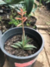 Guinea-Aloe-e1519148169961.jpg
