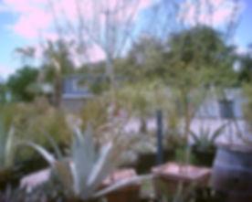 Palo_verde.jpg