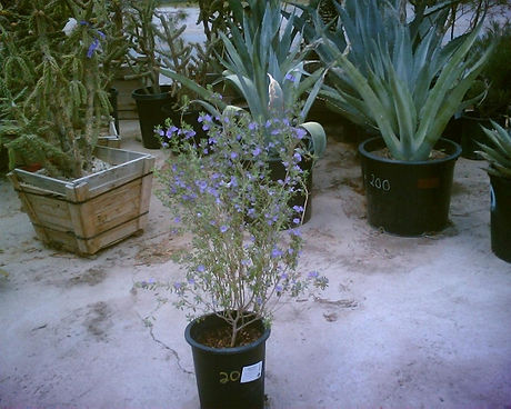 Lecophyllum_frutescens.jpg
