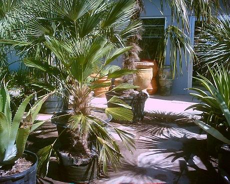 Trachycarpus_wagnerianous.jpg