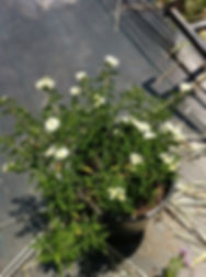 White-lantana.jpg
